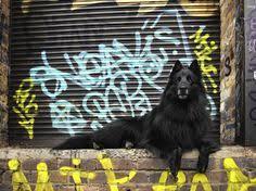 belgian sheepdog alberta belgian sheepdog dog art portraits photographs information and