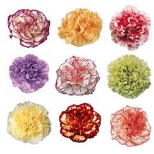 carnations flowers color novelty carnation flowers