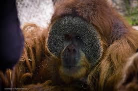 meet the orangutans louisville zoo