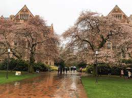 uw cherry blossoms blooming now despite cold weather seattle