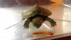 my turtle eating a mealworm youtube