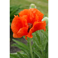 poppies flowers poppies flower bulbs garden plants flowers the home depot