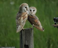 Where Do Barn Owls Live Owls About That Pair Of Nesting Barn Owls Pose Up Together On