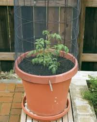 how to grow tomatoes in containers finegardening