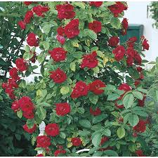 shop 3 5 gallon climbing rose l10152 at lowes com