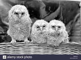three baby owls sitting perched on a wicker basket may stock