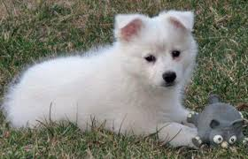 american eskimo dog black mika the american eskimo puppies daily puppy