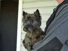 brindle cairn haircut dark brindle puppy hondenfoto s pinterest cairn terriers