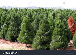 christmas tree farms california christmas lights decoration