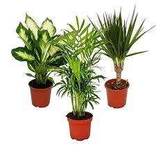 amazon co uk trees indoor plants garden u0026 outdoors