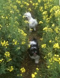 ozzie a bichon frise walks home visits u0026 puppy care it u0027s a dogs life leicestershire