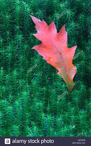 oak and moss detail the size and shape of oak leaves varies with