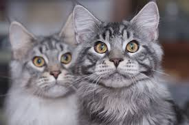 maine coon cats picture gallery from readers