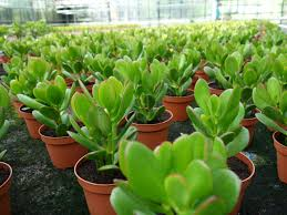 common jade plant growing problems world of succulents