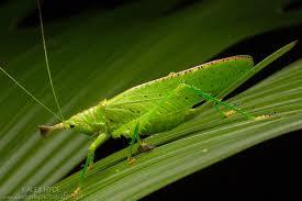 Conehead katydid copiphora sp costa rica alex hyde