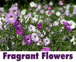 fragrant flowers fragrantflowers jpg