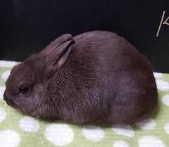 chocolate bunny ears bucks bundles of bunnies rabbitry