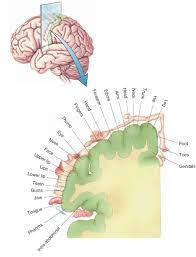 Thalamus Part Of The Brain The Thalamus And Cerebral Cortex Integrative Systems Part 2