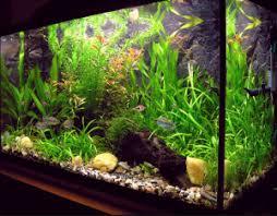 membuat aquascape bening 5 cara menjernihkan air aquarium secara alami yang keruh agar jernih