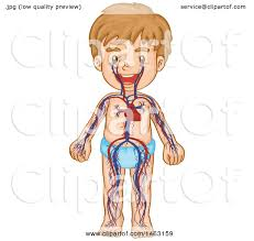 clipart of a medical diagram of a boy with visible circulatory