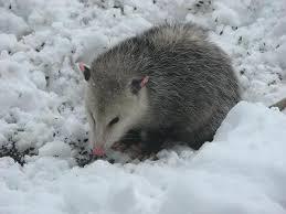 Possum In My Backyard Possum In Our Front Yard Near Schomberg Ontario