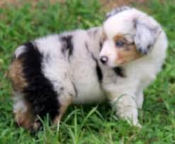 3 month australian shepherd texas miniature australian shepherd puppies