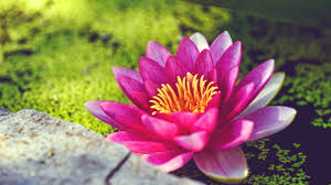 pink water lily flower wallpapers in jpg format for free download