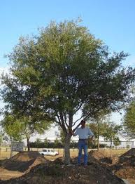 live oak dallas tree sales tree source inc tree farm nursery