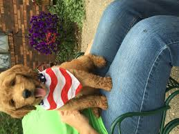 Reagan S Sunbeam Rug by 4th Of July Golden Doodle My Golden Doodle Is Too Cute Not To