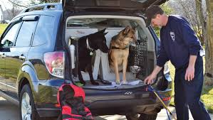 affenpinscher in orlando fl subaru drive a rescued shelter bloodhound now rescues people