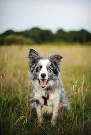 australian shepherd gif australian shepherd woof pinterest australian shepherd and