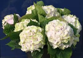 hydrangea hydrangea everlasting noblesse u2013 plants nouveau