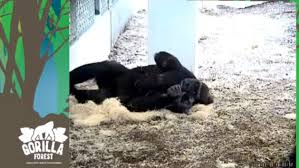baby gorilla and mother cuddle at st paul zoo the washington post