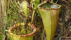 bbc earth the giant plants that eat meat