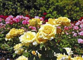 Types Of Garden Flowers - types of garden rose www coolgarden me