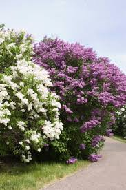 All Year Flowering Shrubs - 94 best shrubs and trees images on pinterest monrovia plants