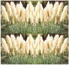 cheap ornamental grass pictures find ornamental grass pictures