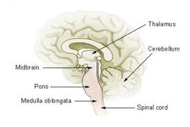 Part Of The Brain Stem That Is Involved In Arousal Brainstem Human Anatomy Function And Location