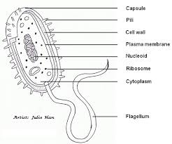 a diagram of an e coli bacterium ib biology syllabus