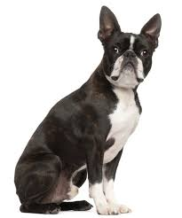 pug x boxer dog meet the buggs a cross between boston terriers and pugs