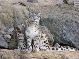 rare cat wallpapers random wallpapers page 155 cats rare leopards beautiful snow cub