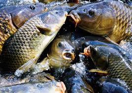 biologists investigating fish kill affecting carp at pymatuning