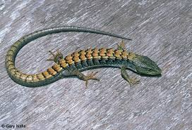 commonly encountered california lizards