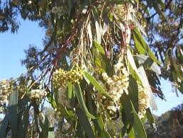 queensland native plants eucalyptus largiflorens black box mallee native plants