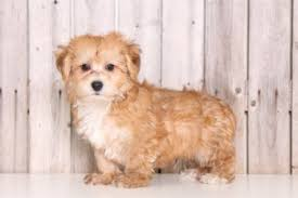 australian shepherd yorkie yorkie poo puppies for sale ohio puppies online