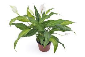 peace lily peace lily fertilizer what is the best fertilizer for peace lilies