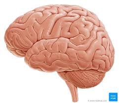 Gross Brain Anatomy Lateral View Of The Brain Anatomy Kenhub