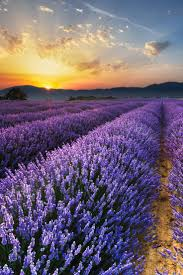 best 25 lavender fields ideas on pinterest provence lavender