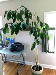 best low light indoor trees best indoor trees ficus outdoors is a very different looking tree