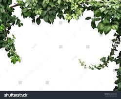 frame climbing plant isolated on white stock photo 406930009